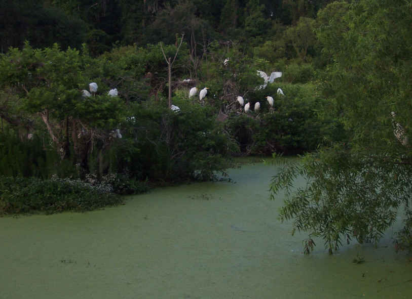 We 've enjoyed watching the white egrets come to roost in the evenings here in Beaufort.